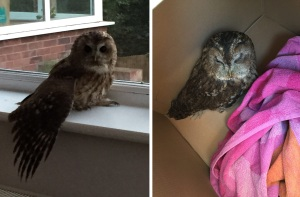 "Nicola Walker from Scarborough, North Yorkshire, was left stunned when the fireplace in their new home was invaded by an OWL. Pictured is the owl after the rescue in the living room. See Ross Parry copy RPYOWL : Homeowner Nicola Walker, 37, stumbled upon the feathered creature who had managed to drop in through her chimney. Nicola was confronted with the massive bird sat in the fireplace -  looking at her from behind the glass.  She said: ""I was at home getting ready for bed and came downstairs and went into the living and looked at the fireplace and I thought I was seeing things as there was an owl behind the glass.  ""It was just sitting there like an exhibit in a museum or something you would see in a taxidermist.  ""I called my husband Ian and asked him if he saw it too, because it  was not what you would expect to see on an evening."